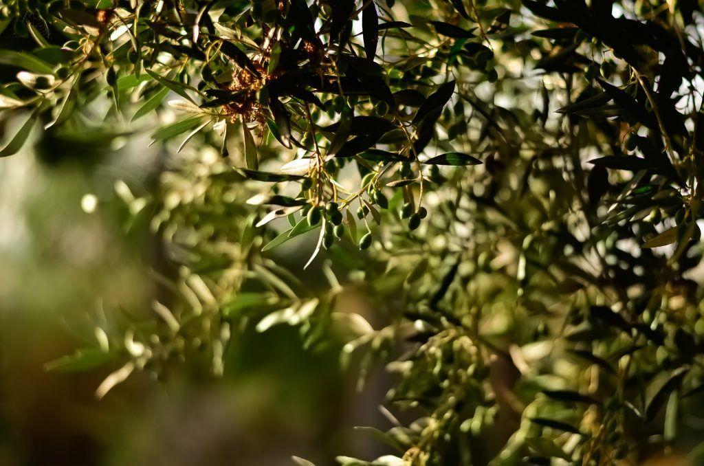 Olive season in fall